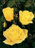 'Duftgold' -R-, Edelrose in A-Qualität Wurzelware