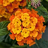 Pflanzen Kölle Wandelröschen, 6er-Set, orange, Topf 12 cm Ø