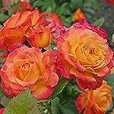 Kordes Rosen Gartenspaß Beetrose, gelb mit rotem rand, 12 x 12 x 40 cm