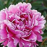 Paeonia lactiflora 'Alexander Fleming' | Rosa Pfingstrose | Höhe 25-35cm | Topf-Ø 13cm