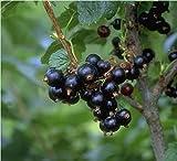 Titania, schwarze Johannisbeere, lange Trauben mit sehr großen Beeren, Busch, 60cm im Topf