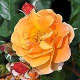 """Strauchrose """"Arabia (Premium) - dunkelorange blühende Topfrose im 6 L Topf - frisch aus der Gärtnerei - Pflanzen-Kölle Gartenrose"""