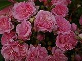 Bodendeckerrose Pink Swany® syn. Les Quattre Saisons - Rosa Pink Swany® syn. Les Quattre Saisons - rosa - Beetrose -Duft+ - Poulsen-Rose - ADR-Rose - Preis nach Stückzahl 3 Stück