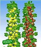 BALDUR Garten Säulen-Stachelbeeren Kollektion, 2 Pflanzen Säulenobst Beerenobst Hinnonmäki rot und Hinnonmäki gelb