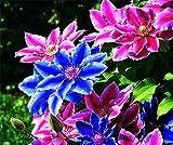 Clematis Winterhart Mehrjährig,Seltene Pflanzen,Nachhaltige Pflanzen, Bunte Und Dekorative Pflanzen,Langlebige Pflanzen,Pflanzliche Arzneimittel-2,5 Zwiebeln
