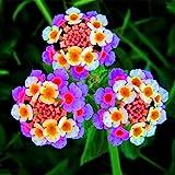 Neue Ankunft !!! 100 PC / Los Wandelröschen Blumensamen, seltene Staude Herrliche Bonsai-Baum-Anlage für Hausgarten-Topf Samen 6