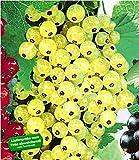 BALDUR Garten Johannisbeeren 'Goldgelbe Versailler', 1 Strauch, Ribes Sativa Johannisbeerstrauch Beerenobst winterhart