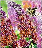 BALDUR Garten Buddleia Sommerflieder 'Flower-Power' Schmetterlingsflieder, 1 Pflanze Buddleja Hybride, Schmetterlingsstrauch Zierstrauch