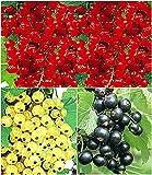 BALDUR Garten Johannisbeer-Kollektion schwarz, rot + weiß, 3 Pflanzen Ribes Titania®, Versailler® und Rovada® Johannisbeersträucher Beerenobst winterhart