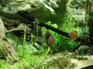 1200px-Aquarium_tropical_-_Discus