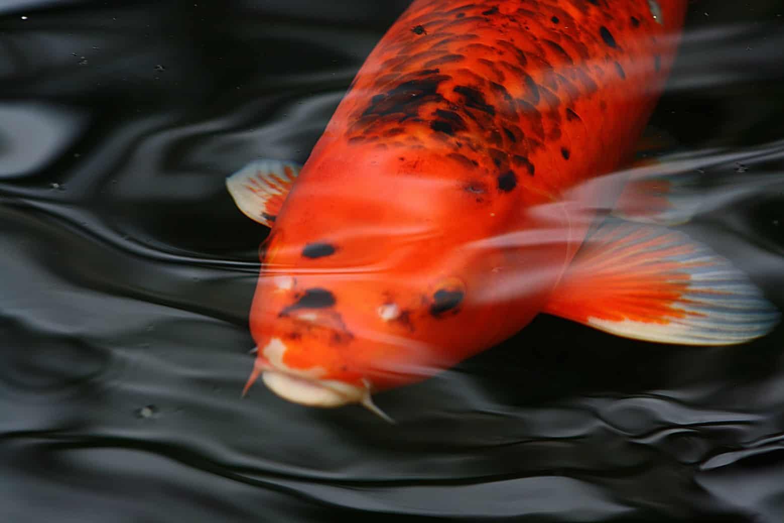 Kois im gartenteich land wasser for Fische in teichen
