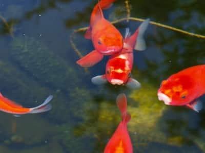 Goldfische die leuchtenden verwandten der karpfenfische for Fische in teichen