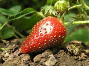 512px-Erste-Erdbeere
