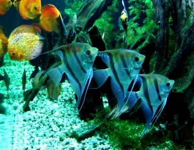 Skalare anmutige segelflosser im aquarium land wasser for Skalar aquarium
