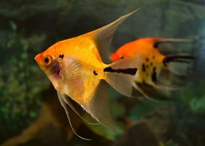 Skalare anmutige segelflosser im aquarium land wasser for Kleine zierfische