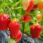 Obst im Gewächshaus anbauen