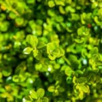 Algenkalk für Buchsbaum