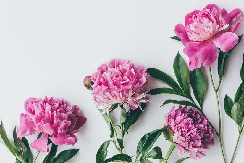 Bauernrosen Schnittblume