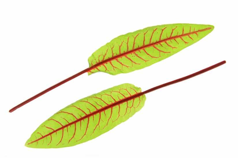Bluttampfer Blätter