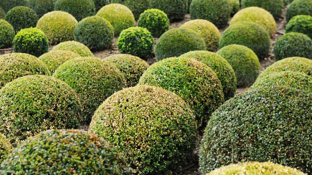 Buchsbaum-Krankheiten