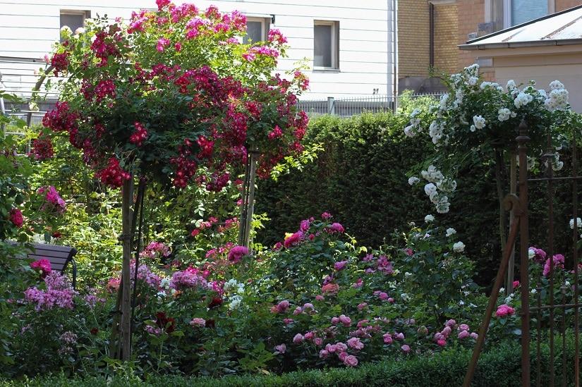 Hochstammrosen im Garten