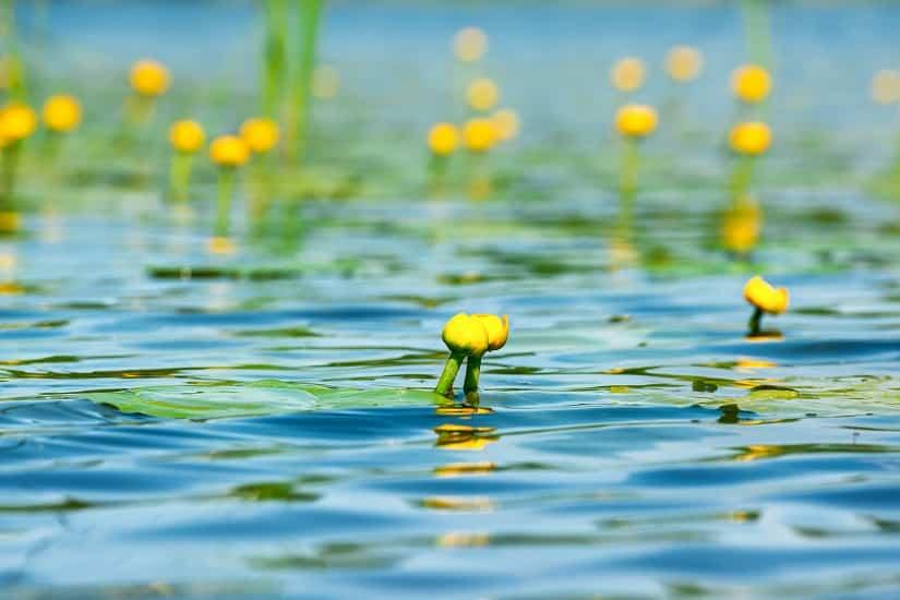 Gelbe Teichrosen