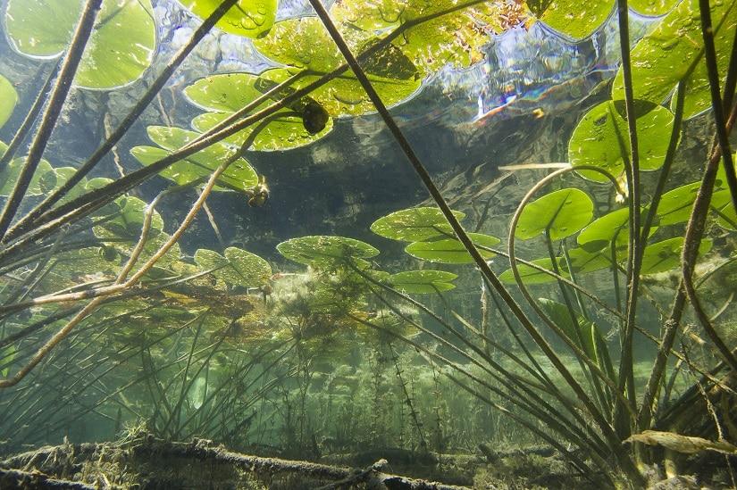 Teichrosen von unten betrachtet