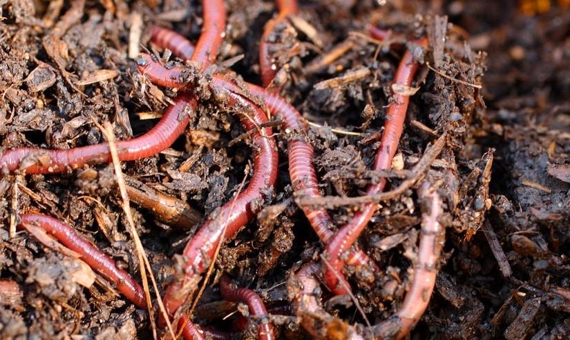 Wurmhumus als Kompostbeschleuniger