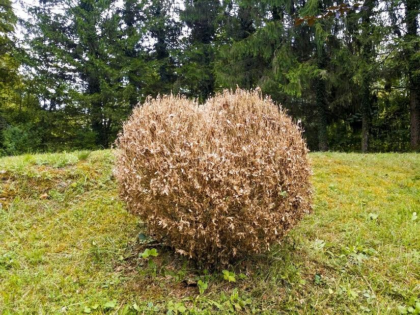 abgestorbener Buchsbaum
