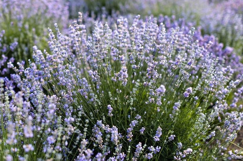Welche Kräuter vetragen sich? Lavendel gilt eher als Einzelgänger, weil die Pflanze sich gern breit macht.
