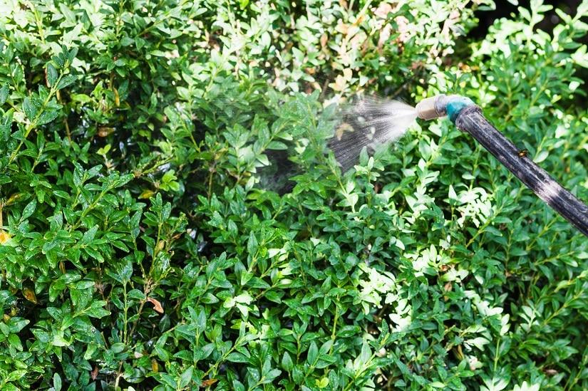 Chemische Bekämpfung der Buchsbaum Raupe
