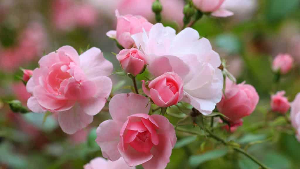 Rosen Wissenswertes