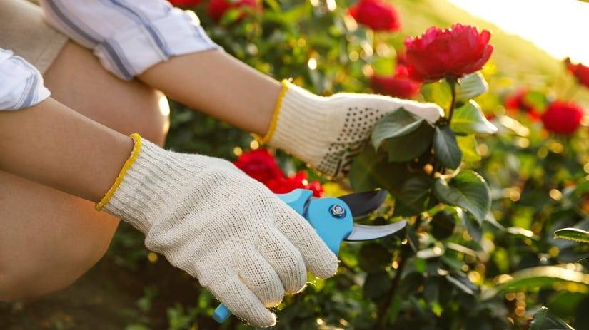Rosen schneiden mit der richtigen Schere