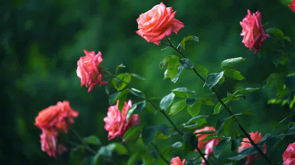 Rosen vermehren