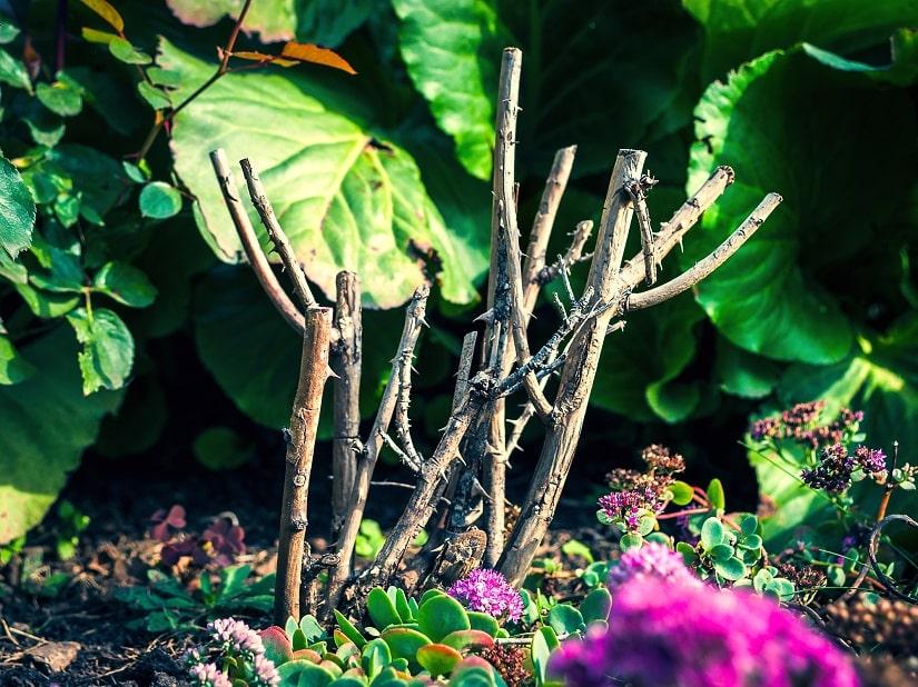 Rosen-vermehren-mit-Stecklingen