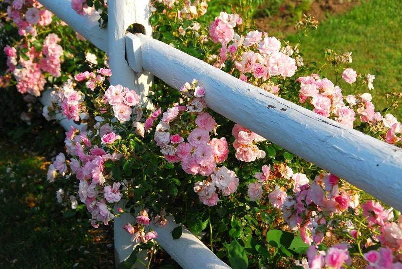 Die Zwergrose, eine beliebte Rosenart