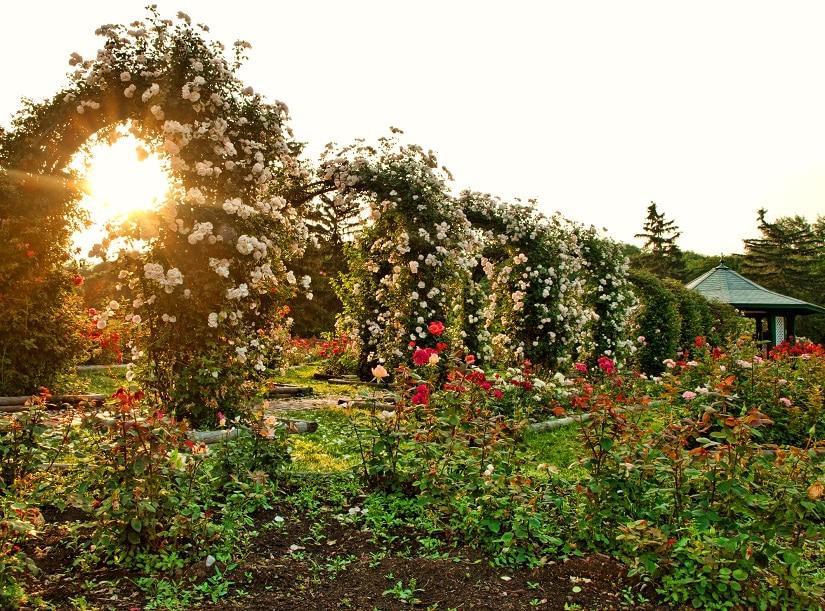 Mehrere Rosenbögen in einem wunderschönen Garten