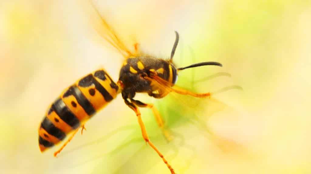 Wespen im Garten
