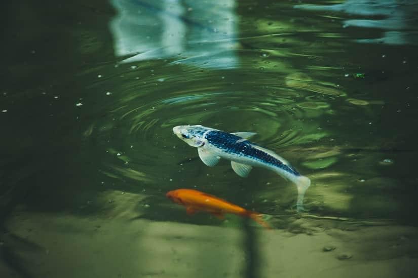 kleine-Teichfische-kaufen