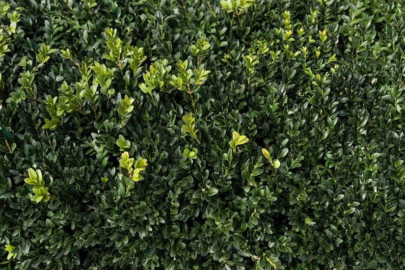 Buchsbaum als Hecke
