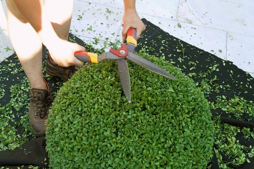Buchsbaum rund schneiden