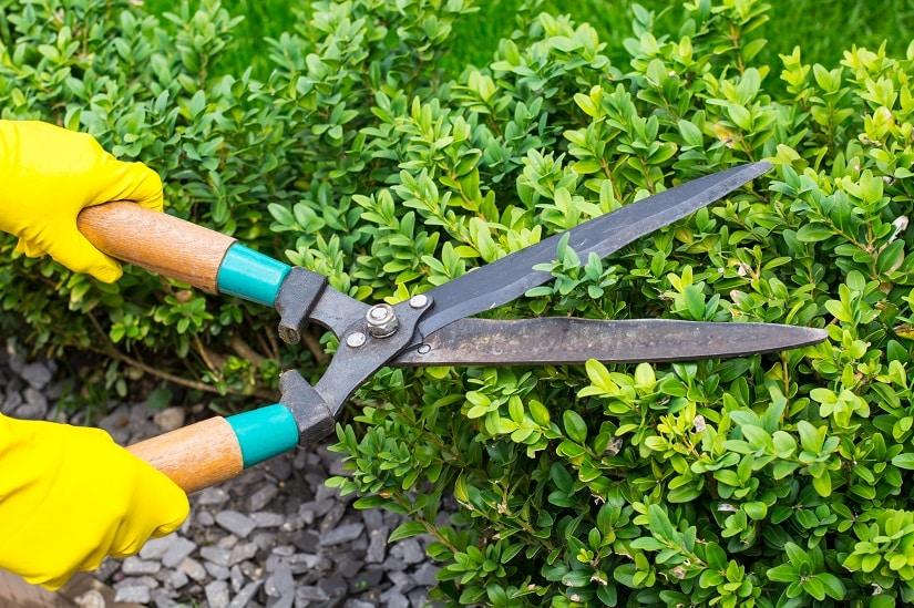 Zur Grundpflege der Buchsbaumhecke gehört das regelmäßige Schneiden