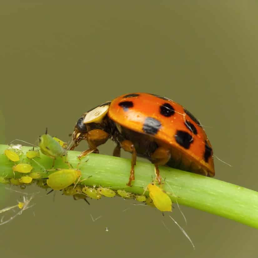 Der Marienkäfer hält die Blattläuse-Population unter Kontrolle!