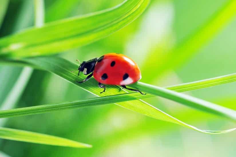 Marienkäfer helfen gegen Blattläuse im Gewächshaus