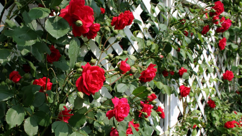 Rankhilfe Rosen