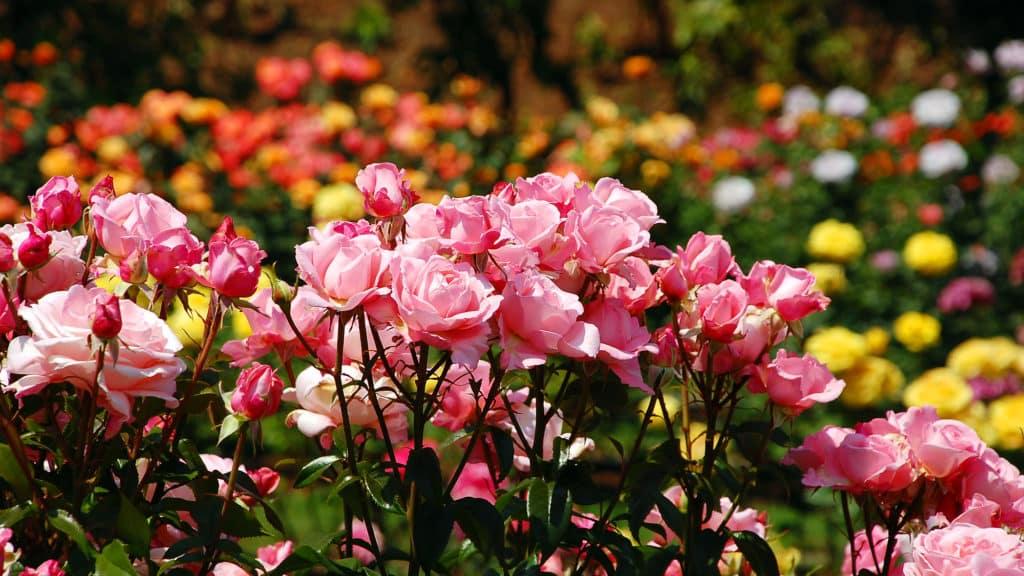 Rosenbeet anlegen
