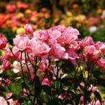 Rosenpflege
