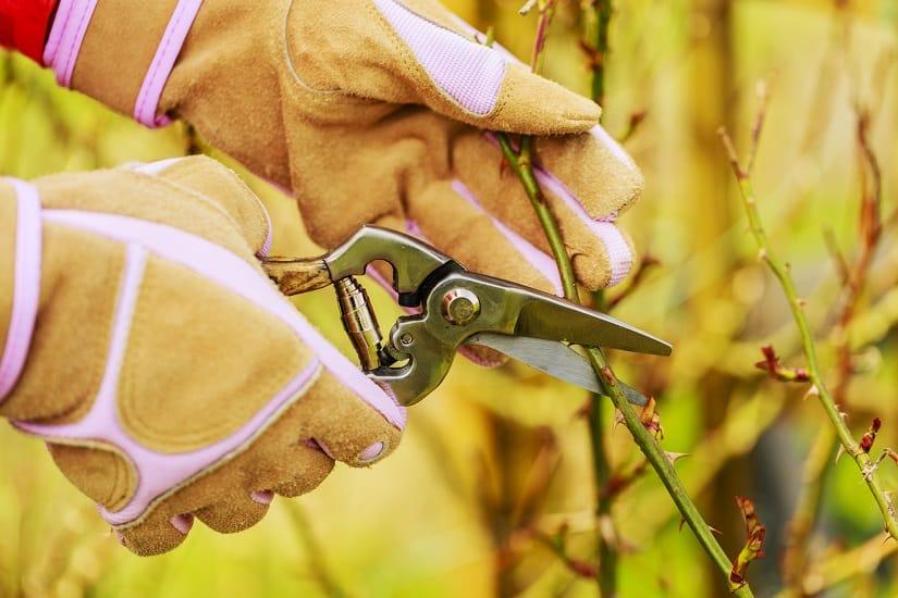 Zur Rosenpflege gehört der regelmäßige Rosenschnitt