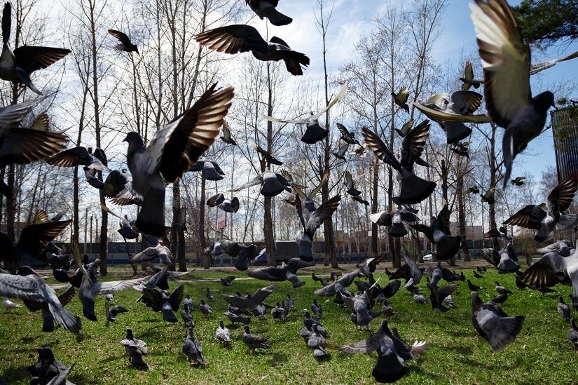 einen Taubenschwarm vom Garten vertreiben
