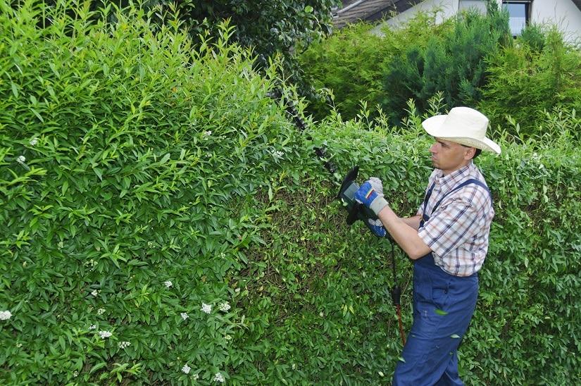 Ligusterhecke als Alternative zum Buchsbaum